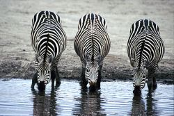 three_zebras_drinking-biggest